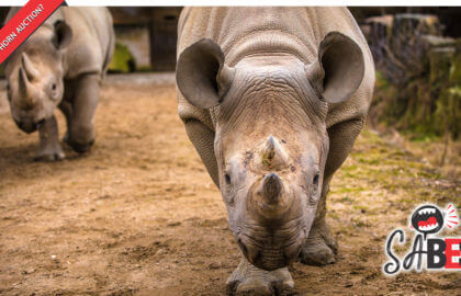 Will-there-be-a-second-Rhino-Horn-Auction-in-South-Africa