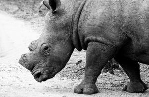 Dehorned Rhino Horn Auction - SA Best